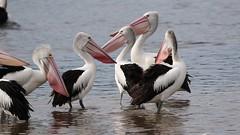 My First Video (christinaportphotography) Tags: wild bird birds video free australia pelican nsw centralcoast australianpelican pelecanusconspicillatus