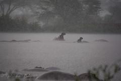 Hippos in Rain (Nigel Nudds Photography) Tags: elephant rain tanzania shower monkey rainbow buffalo lion butterflies pelican leopard zebra crocodile antelope cheetah giraffe baboon serengeti hyrax vervet hippos dikdik agama topis