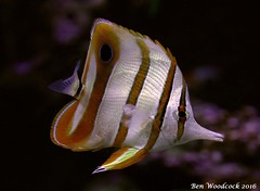 Copperband Butterflyfish (SausageArm) Tags: fish water butterfly aquarium nikon marine aqua underwater tank stripes salt stripe salty copper aquatic stripey reef striped reefs aquatics d90 copperband 18105mm