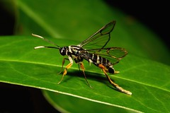 A Wasp on Any Other Day (John Horstman (itchydogimages, SINOBUG)) Tags: china macro topf25 insect topf50 moth lepidoptera yunnan tweet fbe sesiidae itchydogimages sinobug