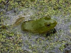 Contestant 2 (mudder_bbc) Tags: green animals poughkeepsie frogs amphibians duckweed bowdoinpark