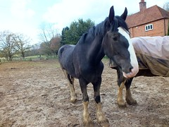 Horse (Waterford_Man) Tags: horse mud stallion field cold england animal kent