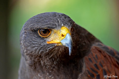 Parabuteo unicinctus (Temminck, 1824) Explore (alfvet) Tags: nature birds ngc natura uccelli vigevano poiana rapaci