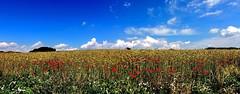 Landschaftspanorama (Wunderlich, Olga) Tags: landscape sommer natur insel rgen landschaft baum deu bunt mohn hgel getreide mnchgut