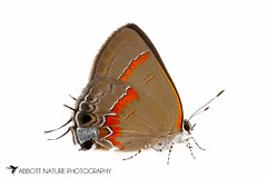 Red-banded Hairstreak - Hodges#4299 (Calycopis cecrops) 20160628_0657.jpg (Abbott Nature Photography) Tags: animals butterfly photography us unitedstates alabama technique gordo hexapoda insectainsects whiteseamlessbackground arthropodaarthropods lepidopterabutterfliesmoths lycaenidaecoppersblueshairstreaks organismseukaryotes invertebratainvertebrates