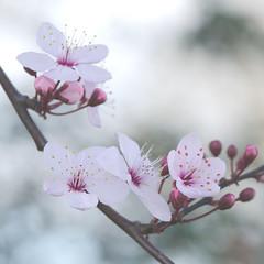 Dreamy (Patsy L Smiles) Tags: macro spring blossom nikkormicro105mm nikkor105mmf28gvrmicro elementsorganizer patsysmiles