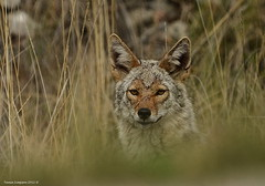 Coyote (Canis latrans) (Photography Through Tania's Eyes) Tags: coyote dog canada nature grass animal rock fauna fur photography photo pom flora nikon photographer bc image britishcolumbia okanagan wildlife tail ears canine photograph okanaganvalley peachland canislatrans copyrightimage nikond7000 taniasimpson allofnatureswildlifelevel1 allofnatureswildlifelevel2 allofnatureswildlifelevel3 allofnatureswildlifelevel4 allofnatureswildlifelevel5 allofnatureswildlifelevel8 allofnatureswildlifelevel6 allofnatureswildlifelevel7 allofnatureswildlifelevel9