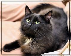Panther (Shelter Kitty) (naturetrails) Tags: cats cat blackcat nikon greeneyes sheltercats