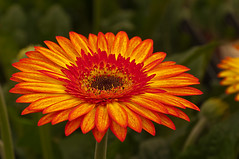 Gerbera (RuudMorijn) Tags: family summer orange plants plant flower color detail macro green nature floral beautiful beauty dutch up leaves yellow closeup season botanical one spring stem flora colorful pretty close natural bright blossom head vibrant background nursery seasonal decoration culture fresh petal made growth greenhouse gift gerbera single round sunflower daisy bloom colored growing botany ornamental asteraceae brabant bloemen freshness blooming bloem genus noordbrabant brabants cultivated cultivate kwekerij supershot glastuinbouw komindekas batist ringexcellence sunrays5 gerberakwekerij westmade glastuinbouwgebied