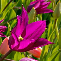 April CBG Photowalk (cotarr) Tags: leica flowers purple tulip photowalk geotag chicagobotanicgarden cameraraw poolphoto bulbgarden cs5 vlux3 cbgflowers topazdenoise topazdetail iphonemytracks