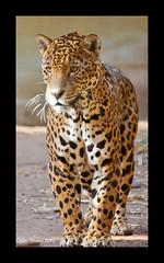 Jaguar (Colin Young2011) Tags: cat canon chester jaguar 70200mm flickrbigcats