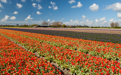Hollandse Tulips (Max Mayorov) Tags: desktop flowers blue red wallpaper sky cloud plant flower holland nature netherlands floral beautiful dutch field season leiden spring bed colorful natural farm background violet row tulip bloom agriculture hy hyacinth blooming selectivefocus hyacinthus planted