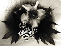 flower cradle (Sharaya Haynes) Tags: flower love botanical lily darkness grunge cradle