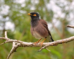 Indian Common Myna - Chowara area, Kerala. (One more shot Rog) Tags: india bird eye nature birds wings wildlife flight wing kerala perch beaks birdlife myna commonmyna mynabird chowara travencoreheritage