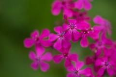 DSC_3038 (tedd okano) Tags: flower garden reddishpurple