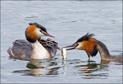 Great Crested Grebes feeding (GaryHowells) Tags: birds feeding chicks greatcrestedgrebes
