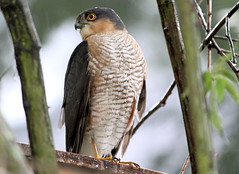Sparrowhawk In The Rain 2 (Judy's Wildlife Garden) Tags: judykennett knightonpowys sparrowhawkintherain2