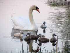Gather around -- dad has something to say (rkramer62) Tags: love pond peace joy swans cygnets rkramer62 theresnosuchthingasanuglyduckling