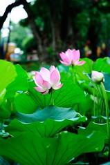 DSC_7954 (o331128) Tags: flowers nature nikon lotus taiwan dslr   tainancity     d90  nelumbonucifera 5018d