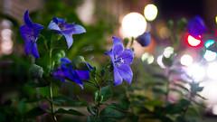 PhoTones Works #1513 (TAKUMA KIMURA) Tags: plant flower nature grass night streetlight view    nokton  omd kimura    takuma   em5 photones