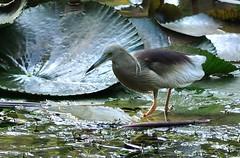 Indian Pond Heron (Abhijit Chendvankar) Tags: india bird heron nikon sigma maharashtra mumbai 70300 indianpondheron sanjaygandhinationalpark d5000