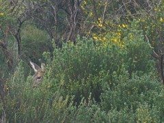 Drumchapel Wildlife (Michelle O'Connell Photography) Tags: male glasgow deer buck roedeer drumchapel urbandeer youngstag drumchapellifesofar drumchapelwildlife michelleoconnellphotography stpiushill