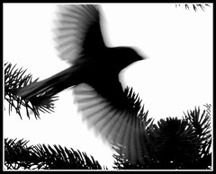 In Flight (Lin_Woods) Tags: motion bird birds silhouette flying flight 52weeks2012