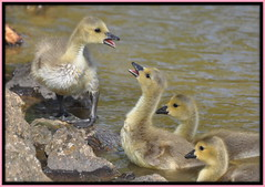 Quack quack (maryimackins) Tags: canada geese kent wells goslings tunbridge dunorlanpark