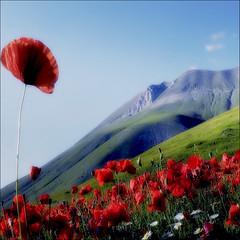 the charm of nature (s@brina) Tags: color nature poppies landescape umbria castelluccio montevettore saariysqualitypictures