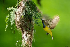 (Explored) Sunbird building nest (kengoh8888) Tags: wild green bird yellow wings nest pentax background flight creamy k5 nesting actionshot sunbird smallbird thegalaxy buildnest mygearandme mygearandmepremium mygearandmebronze mygearandmesilver