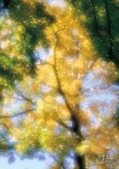 DAO-25650 光影的表現 武陵農場楓葉 楓樹 底圖 背景 素材