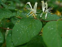 Twins. (tarelkaz1) Tags: flowers white macro green yellow garden spring flora flowersarebeautiful natureselegantshots naturethroughthelens mygearandme olympus450e