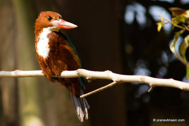 White-throated Kingfisher (Halcyon smyrnensis) also known as the White-breasted Kingfisher or Smyrna Kingfisher Watching Something