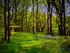 in bluebell wood (perseverando) Tags: trees bluebells woods lancashire rivington bolton pictureperfect perseverando visionqualitygroup magicunicornverybest fleursetpaysages