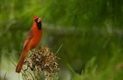 Pretty In Red (ac4photos.) Tags: red bird nature animal nikon cardinal florida wildlife ac avian wma naturephotography wildlifephotography d300s ac4photos