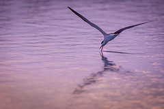 Skimmer (Rob Travis) Tags: sunset bird florida skimmer skimming