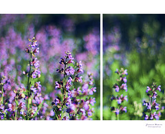 Purple Salvia (Yavanna Warman {off}) Tags: flowers plants 50mm spring dof purple bokeh salvia f18 springtime salviaofficinalis