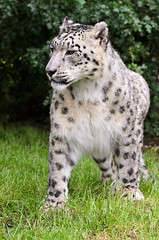 Snow Leopard 1 (Funky Foxy) Tags: lion snowleopard africanlion pantheraleo pantherauncia endangeredbigcats
