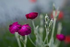Pure nature (Winwood79) Tags: wasser natur pflanzen lila wassertropfen nelken wasserperlen lichtnelken lilablumen benetzt kronenlichtnelken blüten blumen