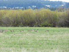 Canada Geese (skjoiner) Tags: birds geese wyoming grandtetons nationalparks canadageese grandtetonnationalpark vacation2012