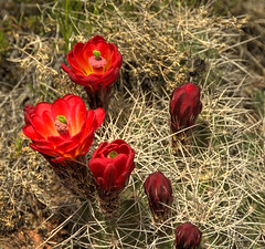 buds and red cacti Canyonlands NP (maryannenelson) Tags: red plant flower cacti landscape utah nationalpark spring blossom canyonlands bud photochallenge2016