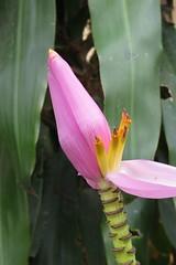 butuan (BOTOAN BANANA ) (DOLCEVITALUX) Tags: fruits fauna flora philippines medicinalplants butuan botoanbanana