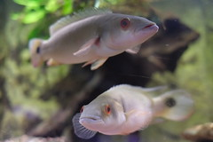 (Dennis Hilding) Tags: fish fisk akvariefisk sooc lustgrdenzoo