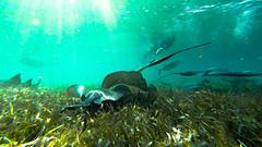 Beautiful Belize (jon.scrimgeour) Tags: blue fish reflection coral shark paradise ray underwater stingray turtle belize diving freediving snorkling hero sharks fin reef tortuga cod snapper snorkle nurseshark baracuda barrierreef gopro frensy