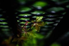 272/365 Flora (ewitsoe) Tags: life street blue plants plant black macro green fence 50mm leaf spring gate iron bokeh poland vine growth 365 poznan ironwrought nikond80 ewitsoe