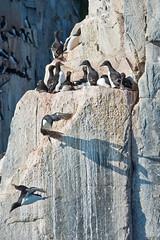 060 Day 5 Svalbard (brads-photography) Tags: flying wildlife cliffs svalbard arctic perched takingoff takeoff spitsbergen nesting ledges perching birdcliffs thickbilledmurre urialomvia brunnichsguillemot hinlopenstrait alkefjellet hinlopenstretet
