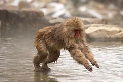 Japan. (richard.mcmanus.) Tags: gettyimages primates snowmacaques monkeys japan