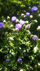 blueflower (jurinkof) Tags: blue flower fleurs garden blten blauen kvety bleues kvty modr