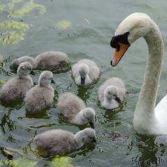 keeping them close! (Wendy:) Tags: lake swan droplet ucd cygnets belfield 2016