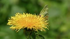 Zitronenfalter (Gonepteryx rhamni) (ursula.kluck) Tags: butterfly natur schmetterling zitronenfalter gonepteryxrhamni fluginsekt lwenzahnblte